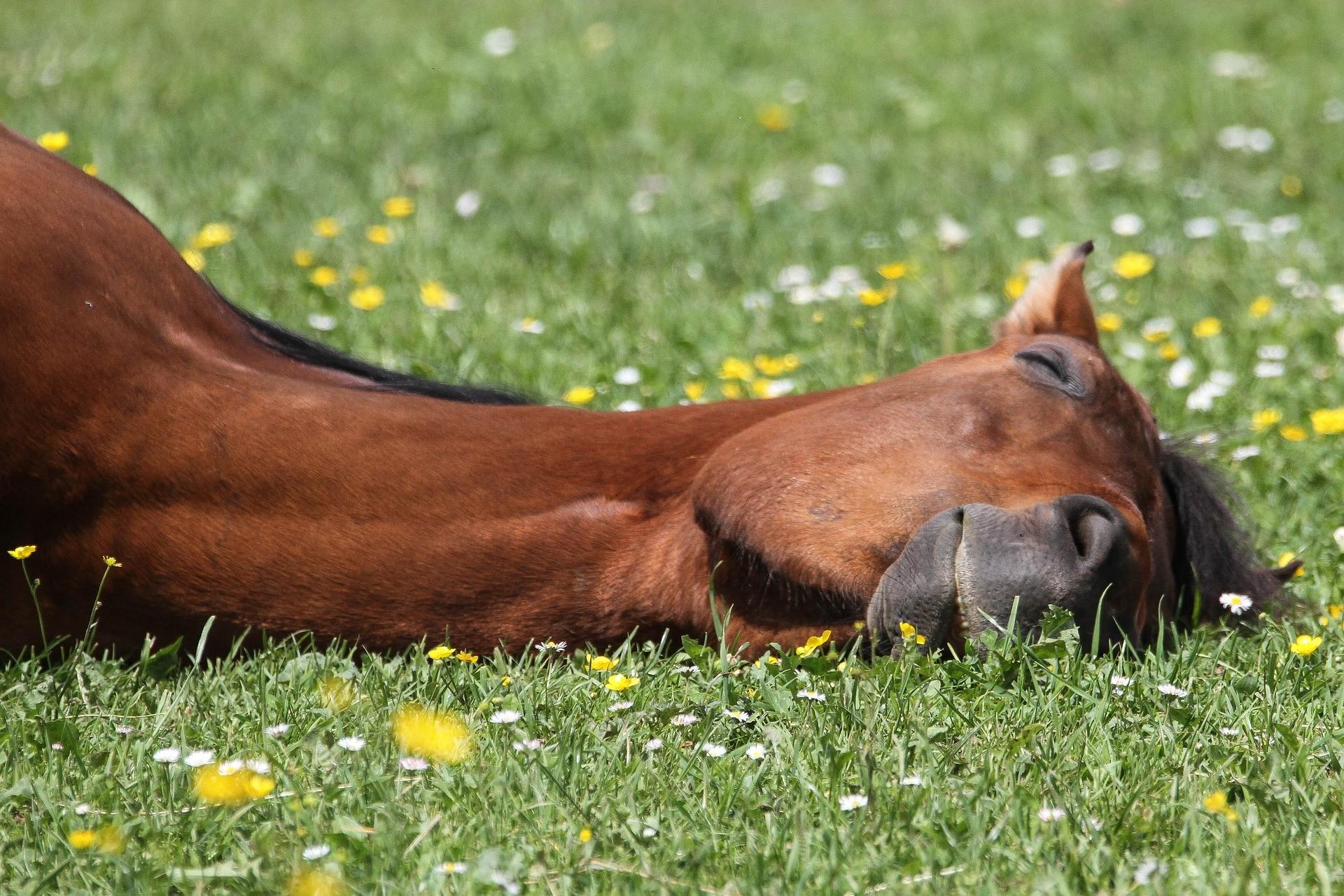 cheval qui se relaxe et a confiance